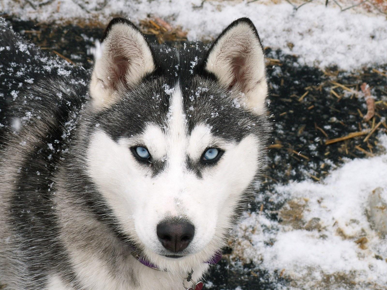 Siberian Husky Dog: Siberian Siberian Husky Working Dog Breed