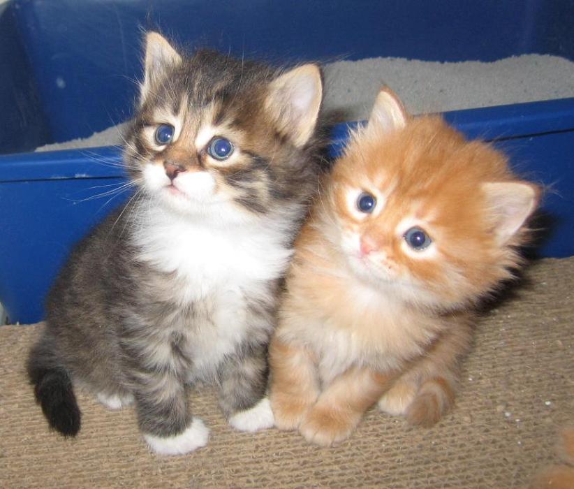 Siberian Kitten: Siberian Siberian Kittens Breed