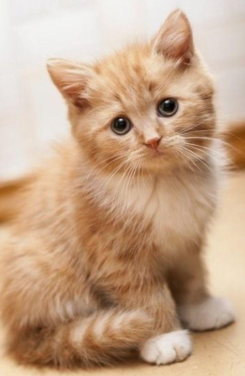 Siberian Kitten: Siberian Siberian Kittens Ready Now Milton Keynes Breed