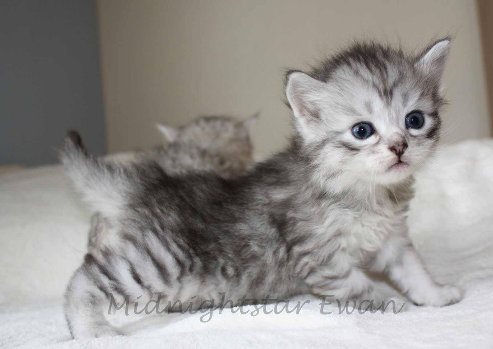 Siberian Cat: Siberian Siberians Cats From Kravchenko Siberians A Siberian Cat Breed
