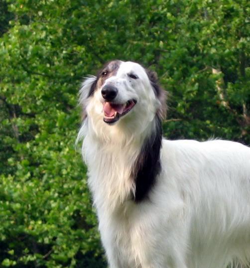 Silken Windhound Dog: Silken Breed