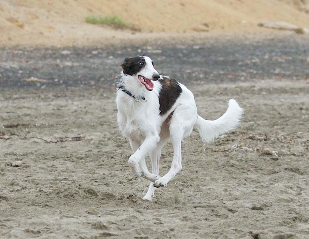 Silken Windhound Dog: Silken Lovely Silken Windhound Dog Breed