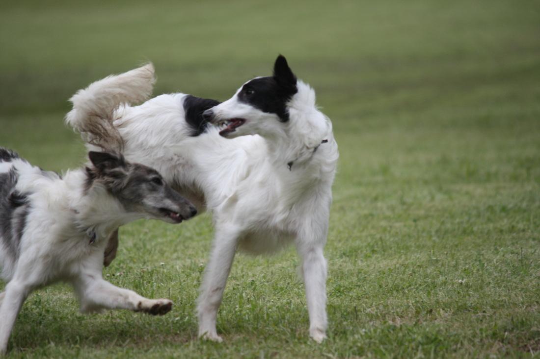 Silken Windhound Dog: Silken Playing Silken Windhound Dogs Breed