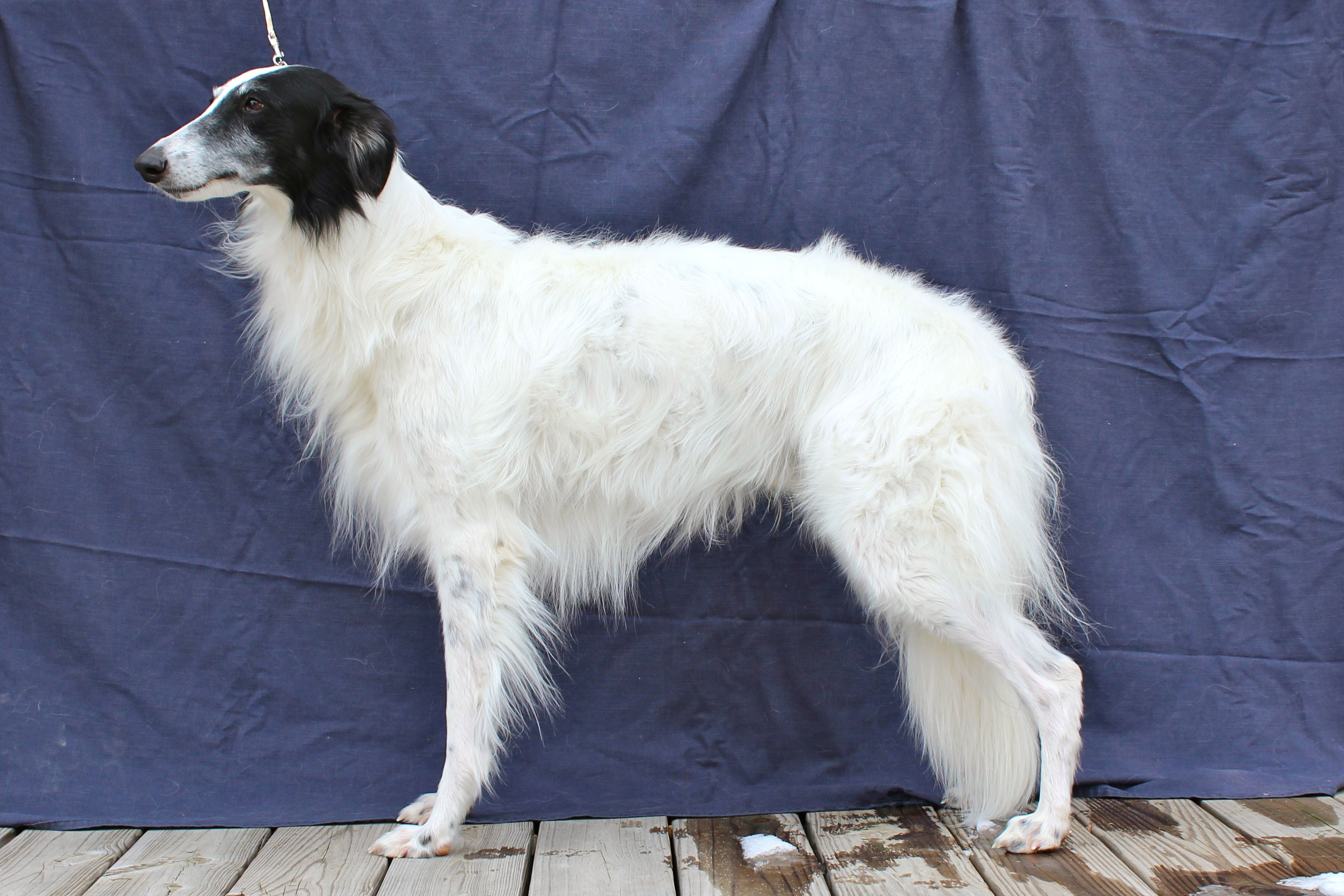 Silken Windhound Puppies: Silken Puppies Breed