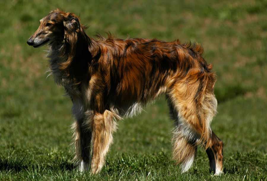 Silken Windhound Dog: Silken Silken Windhound Breed