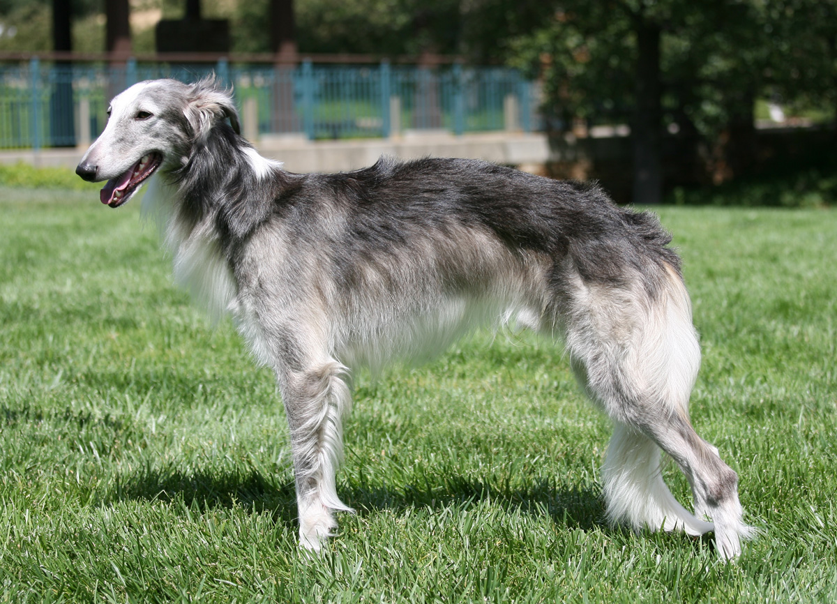 Silken Windhound Dog: Silken Silken Windhound Dog On The Grass Breed