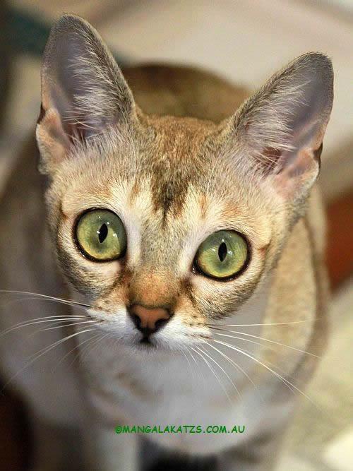 Singapura Cat: Singapura Breed