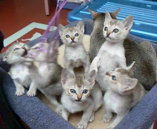 Singapura Kitten: Singapura Cat Breedssingapura Cat