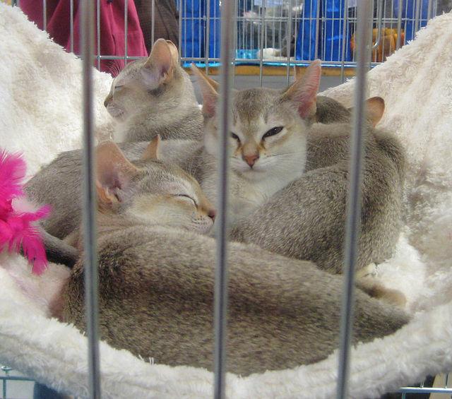 Singapura Cat: Singapura Cele Mai Mici Rase De Pisici Din Lume Putin Cunoscute Publicului Larg Breed