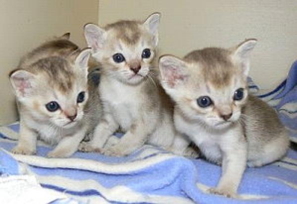 Singapura Kitten: Singapura Chatons Singapura Dispo A Breed