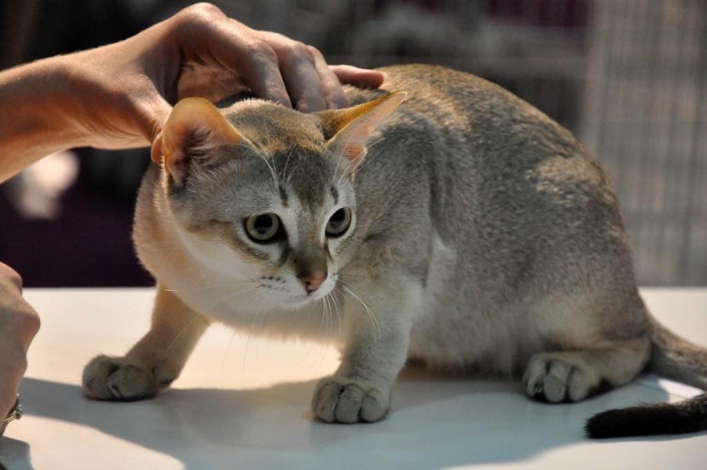 Singapura Cat: Singapura Cuiburi Anterioare Breed