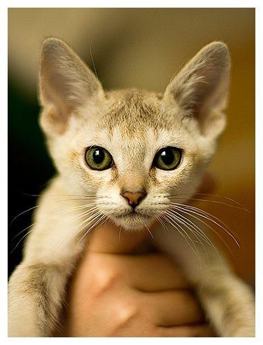 Singapura Kitten: Singapura Cute Singapura Kittens Breed