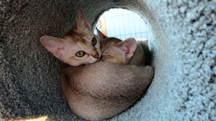 Singapura Kitten: Singapura Daytriptovancouvercanadatopickupsingapurakittens Breed