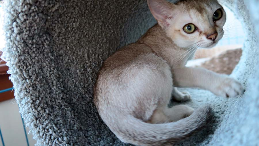 Singapura Kitten: Singapura Index Breed