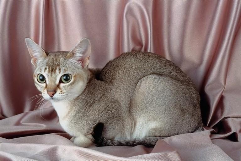 Singapura Cat: Singapura Singapura Breed