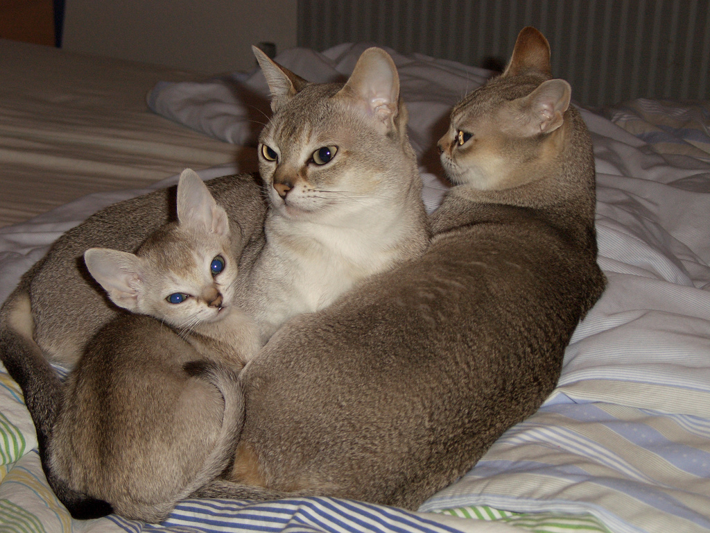 Singapura Cat: Singapura Singapura Cat Breed