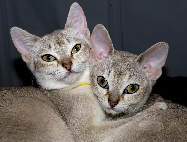 Singapura Cat: Singapura Singapura Cats Breed