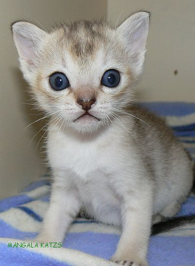 Singapura Kitten: Singapura Singapura Kitten Breed