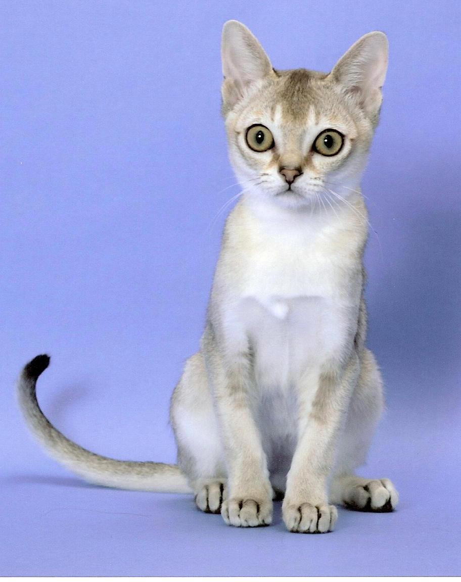 Singapura Kitten: Singapura Singapura Kittens Breed