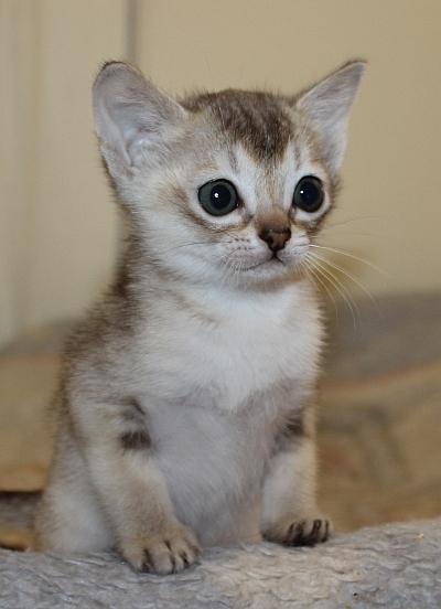 Singapura Kitten: Singapura Singapurakittens Breed