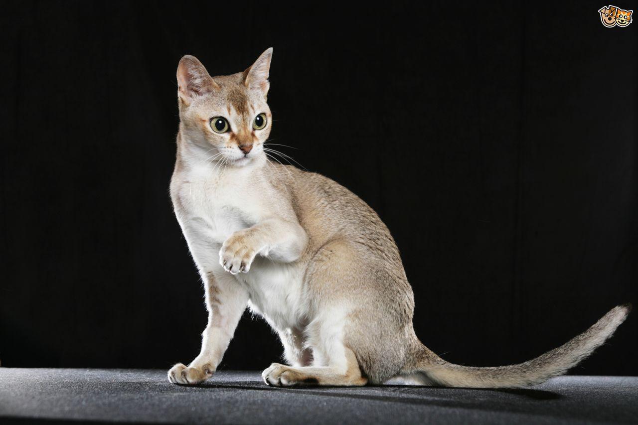 Singapura Cat: Singapura Some More Information On The Singapura Cat Breed