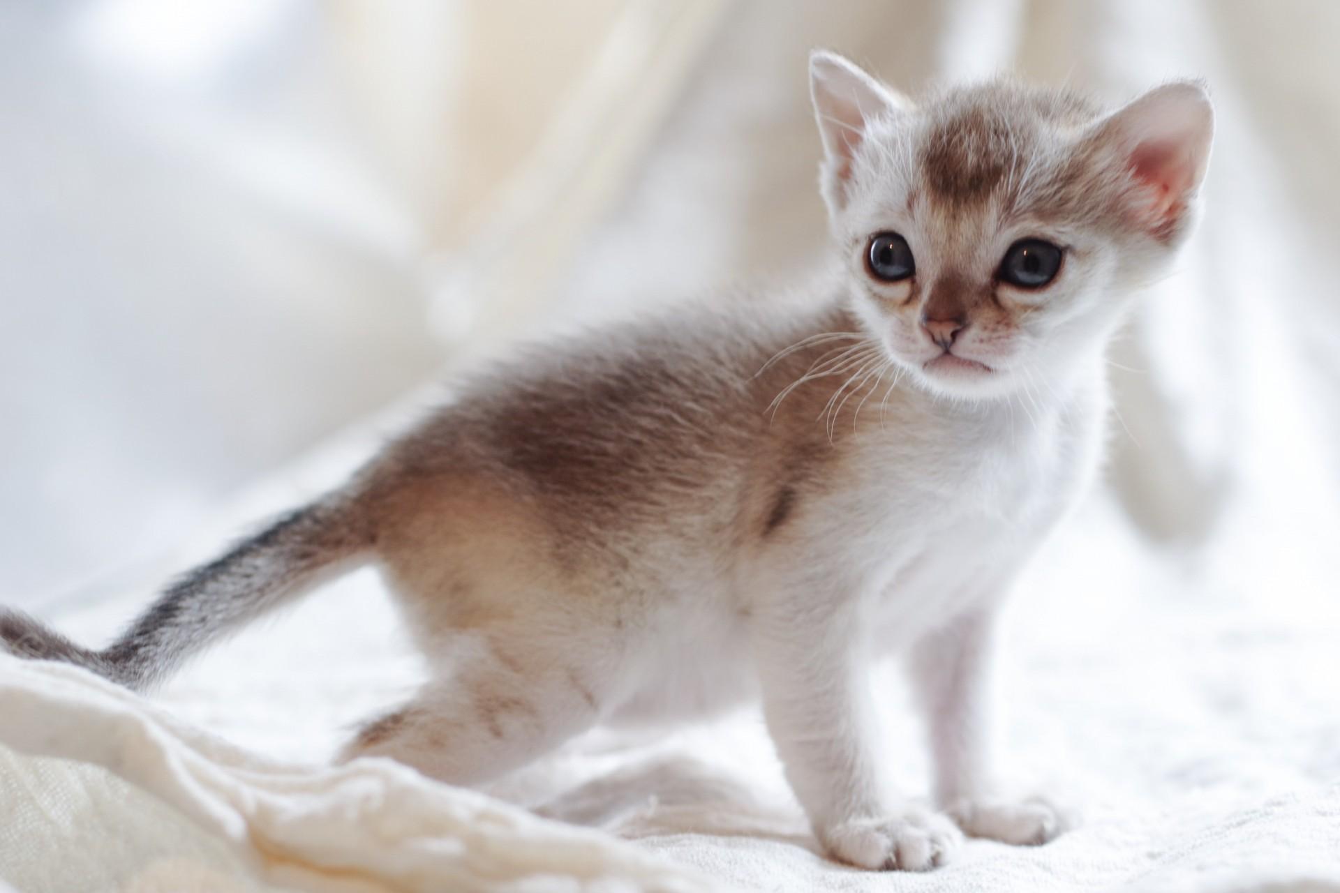 Singapura Kitten: Singapura Update Singapura Kittens Mar Breed