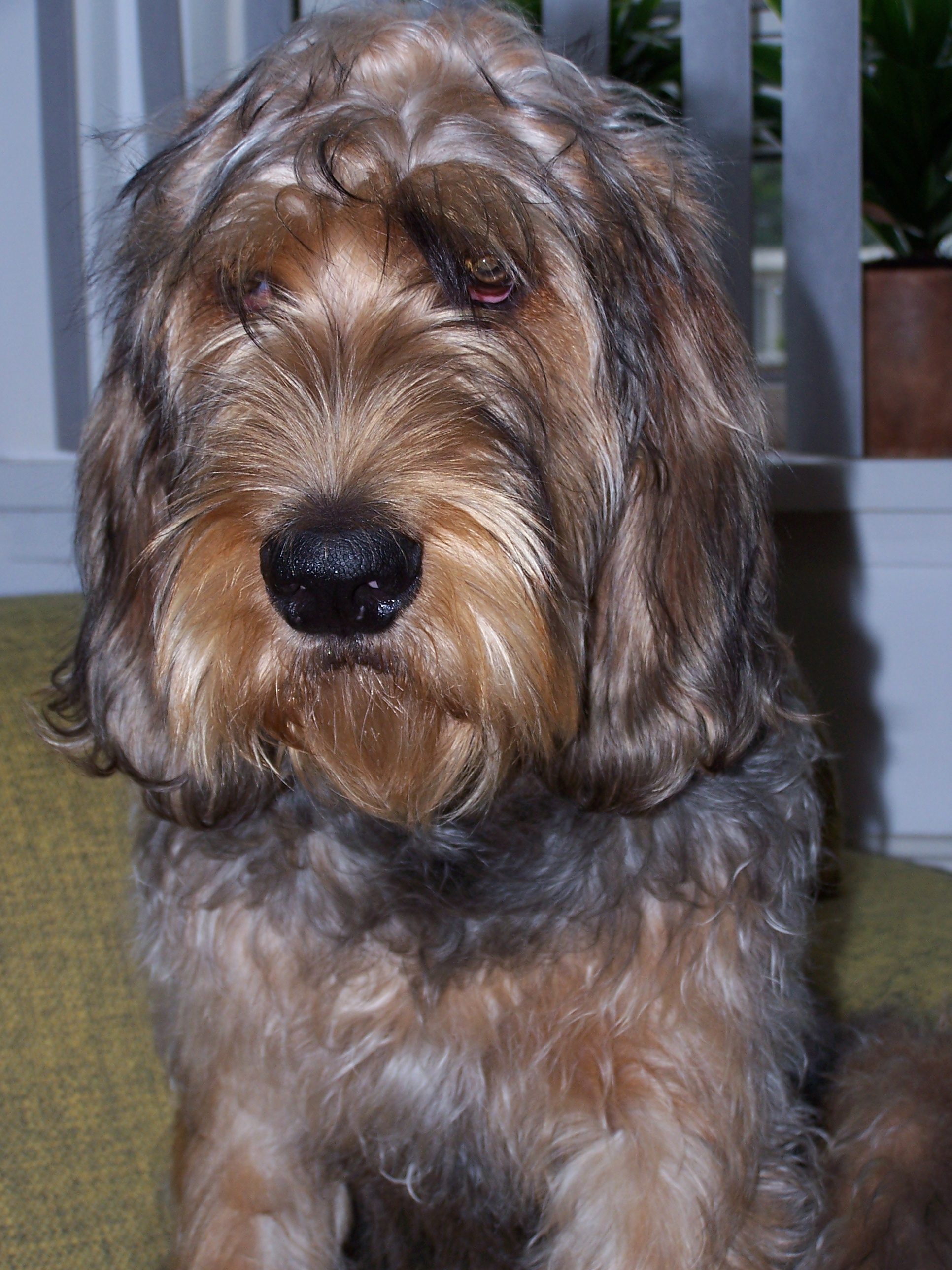 Sinhala Hound Puppies: Sinhala Sad Otterhound Dog Breed