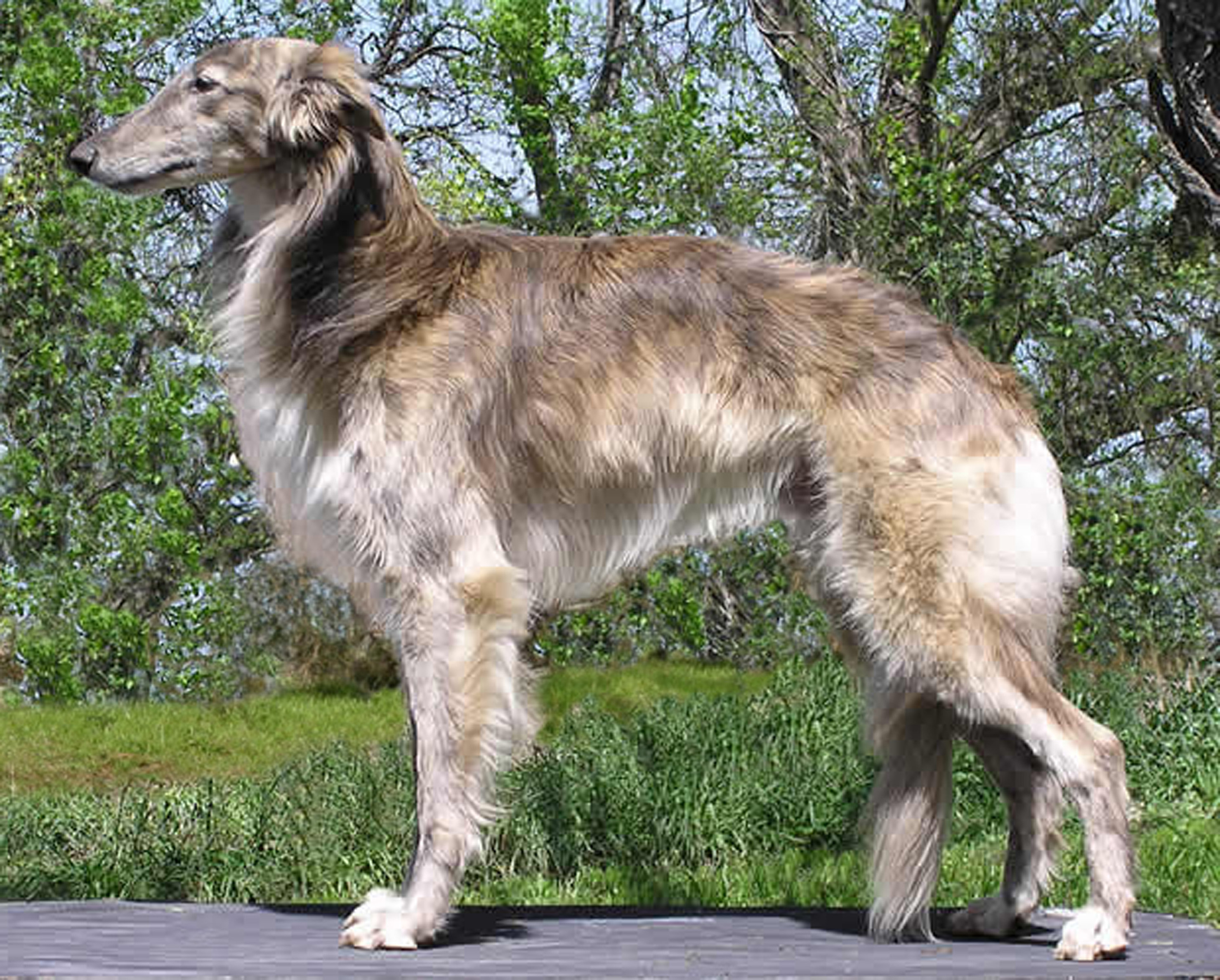 Sinhala Hound Dog: Sinhala Silken Windhound Breed
