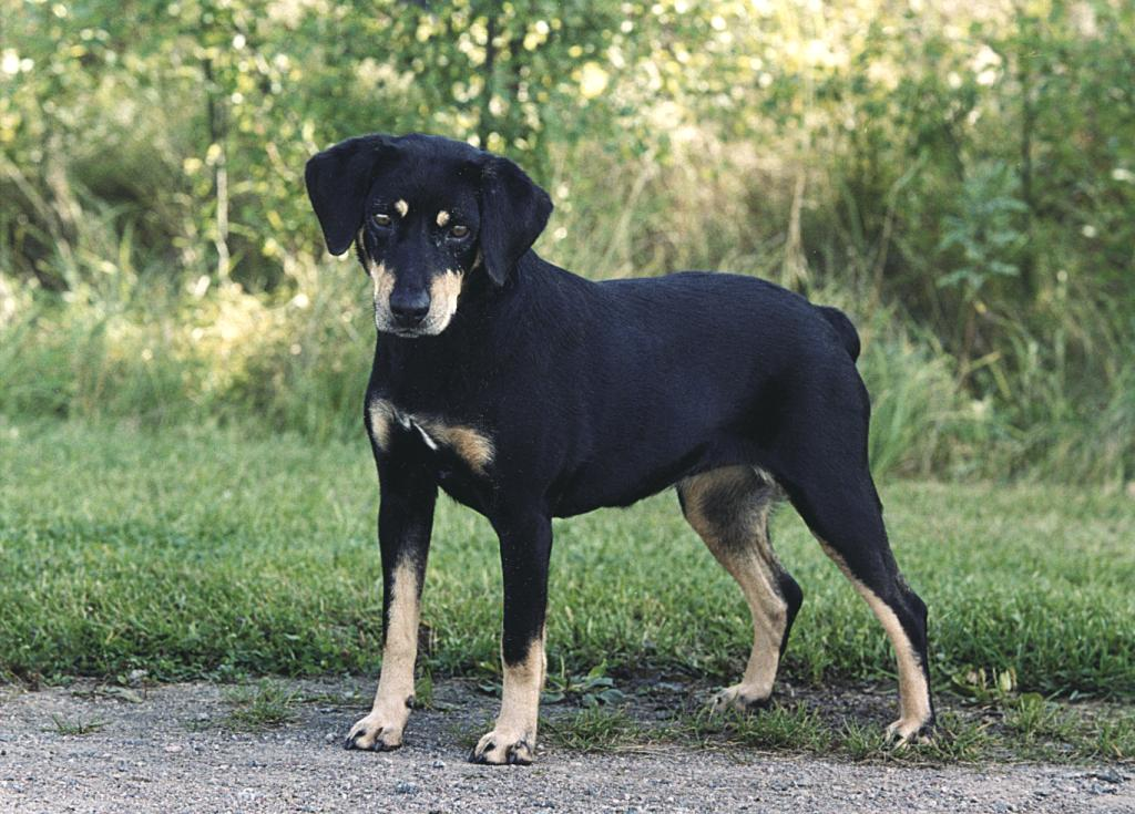 Sinhala Hound Dog: Sinhala Smalandsstovare Dog Breed
