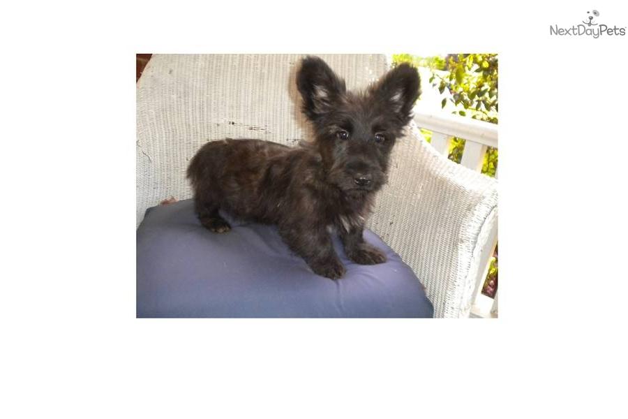 Skye Terrier Puppies: Skye Eed E Breed