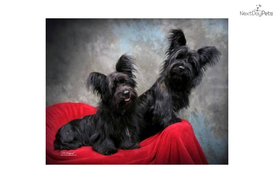 Skye Terrier Puppies: Skye Fdd Bf Breed