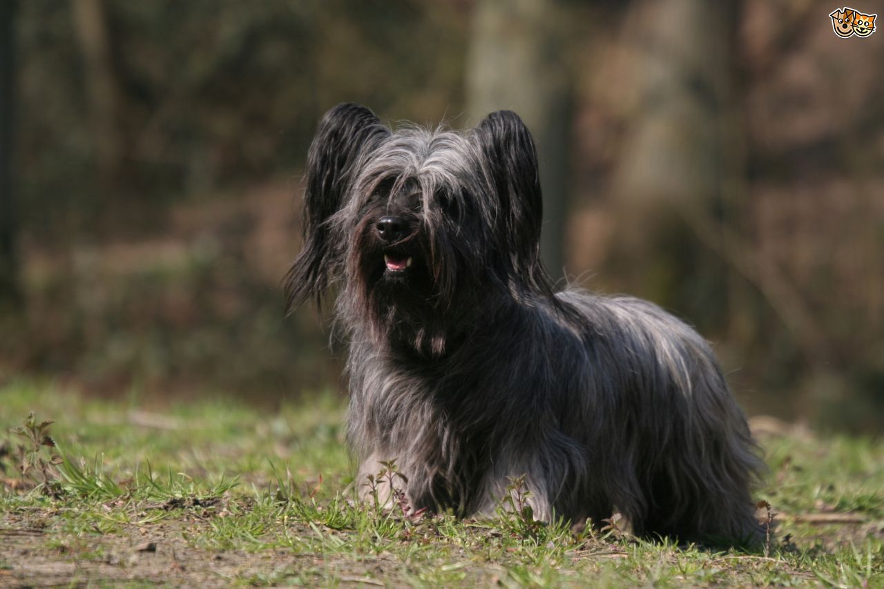 Skye Terrier Dog: Skye Home Breed