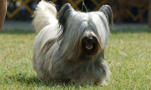 Skye Terrier Puppies: Skye Puppies For Sale Breed