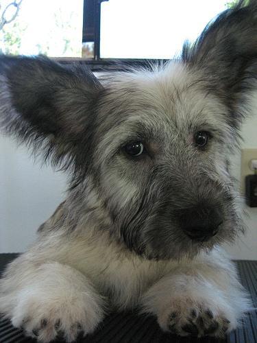 Skye Terrier Dog: Skye Sky Breed