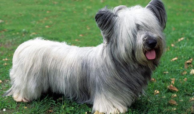 Skye Terrier Dog: Skye Skye Terrier Breed