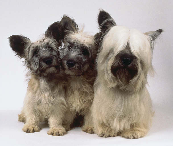 Skye Terrier Puppies: Skye Skye Terrier Puppy Pictures Breed