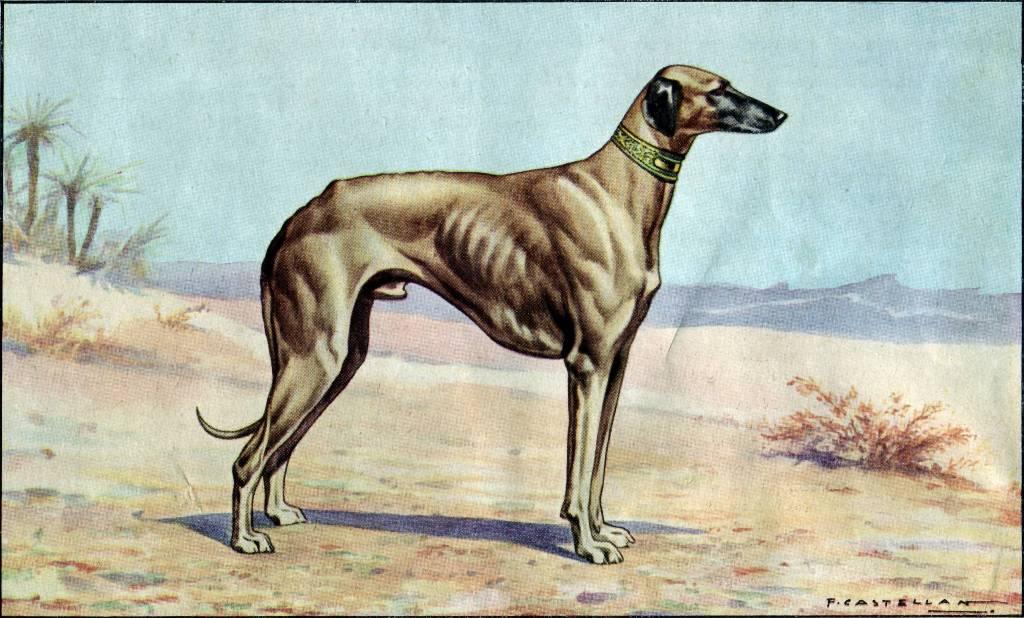 Sloughi Dog: Sloughi Archive Breed