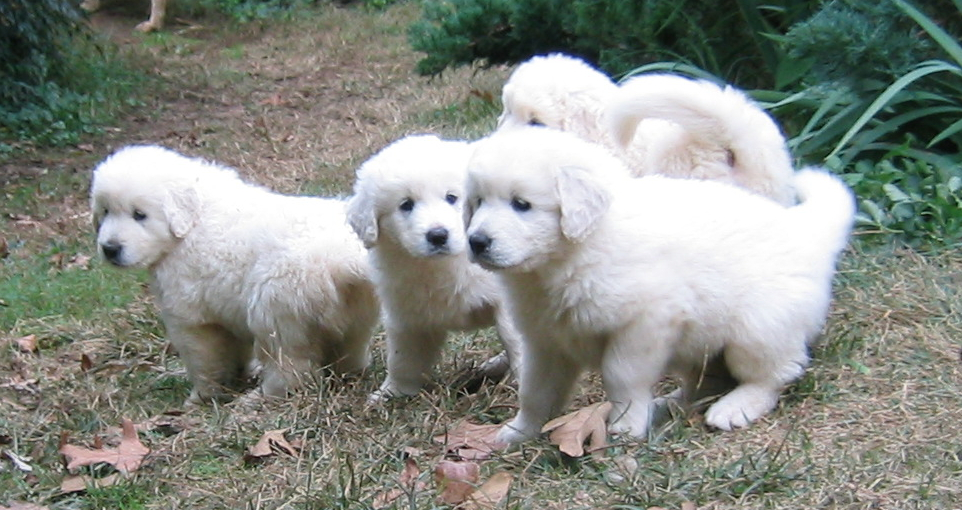 Slovak Cuvac Puppies: Slovak Akbash Turkey Puppy Peoples Who Like To Keep This Animal As Pet Breed