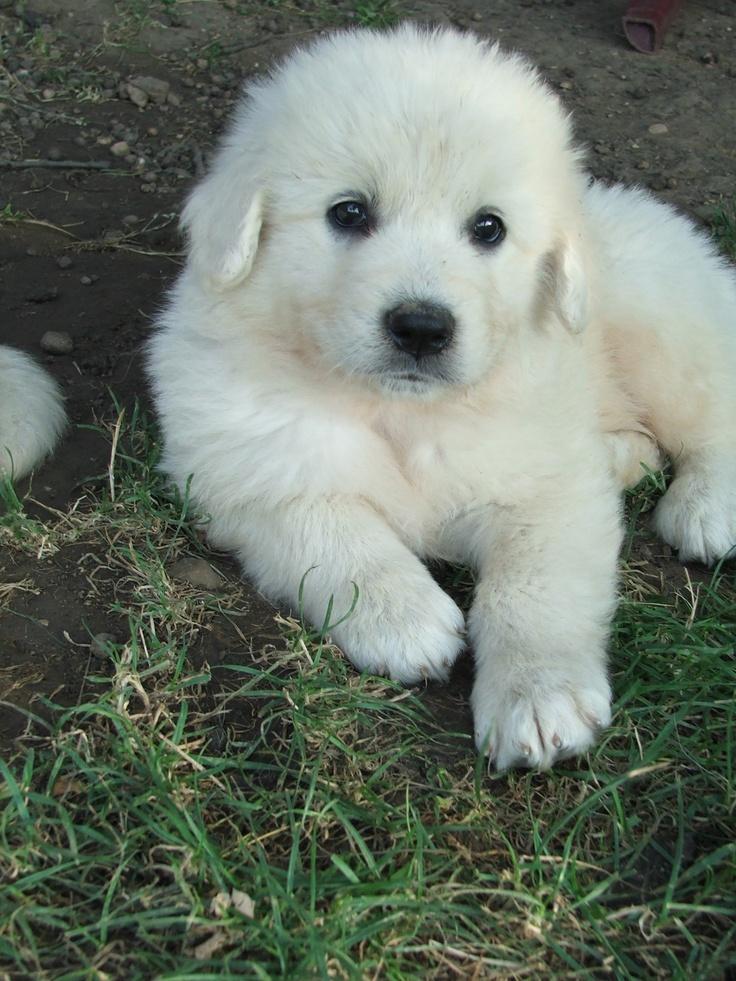 Slovak Cuvac Dog: Slovak Breed