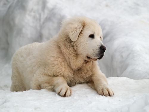 Slovak Cuvac Puppies: Slovak Cuvac Dogpage Breed