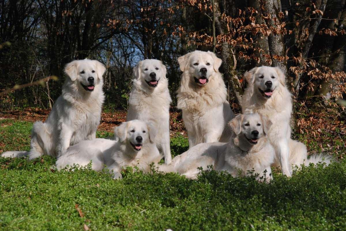 Slovak Cuvac Dog: Slovak Nice Slovak Cuvac Dogs Breed