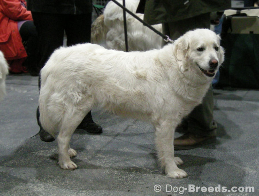 Slovak Cuvac Dog: Slovak Slovak Cuvac Breed
