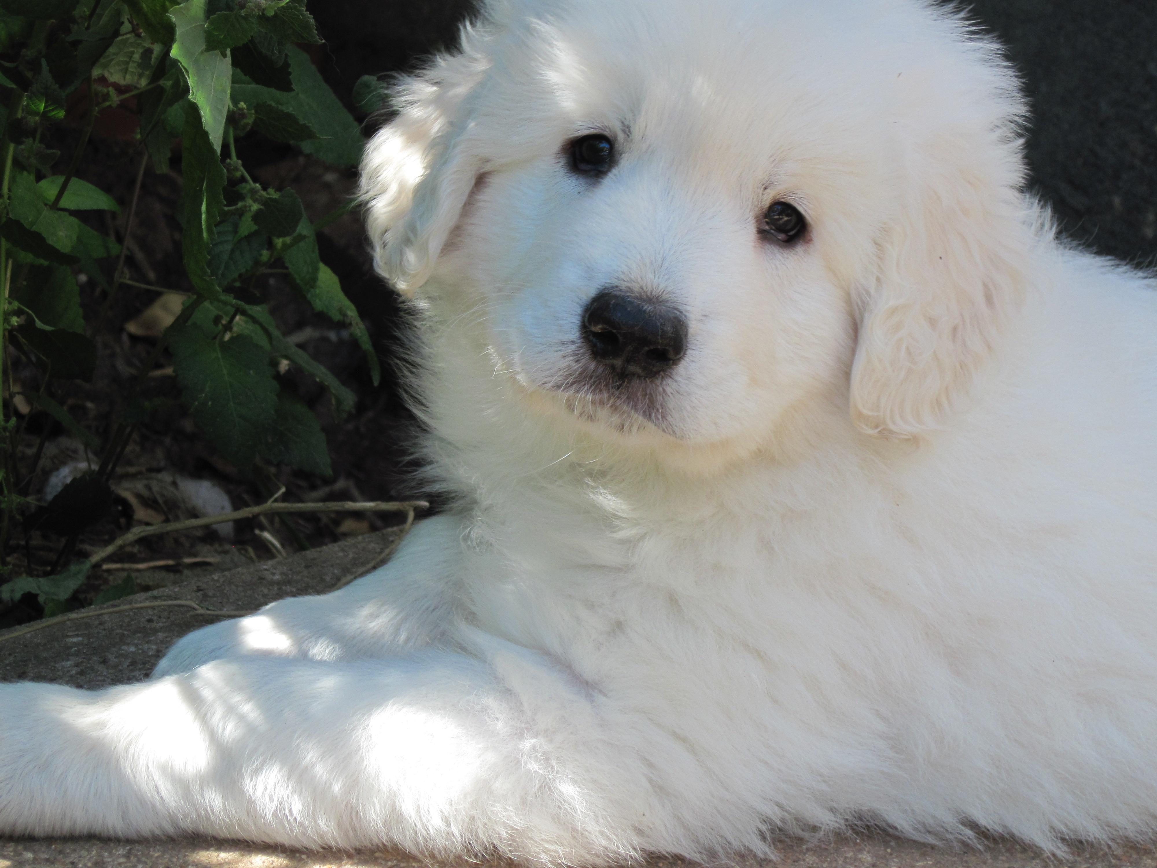 Slovak Cuvac Dog: Slovak Slovak Cuvac Puppy Breed