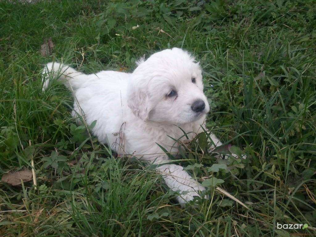 Slovak Cuvac Dog: Slovak Slovak Cuvac Puppy On The Grass Breed