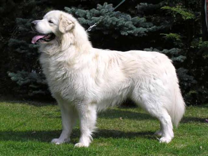 Slovak Cuvac Dog: Slovak Slovak Tchouvatch Breed