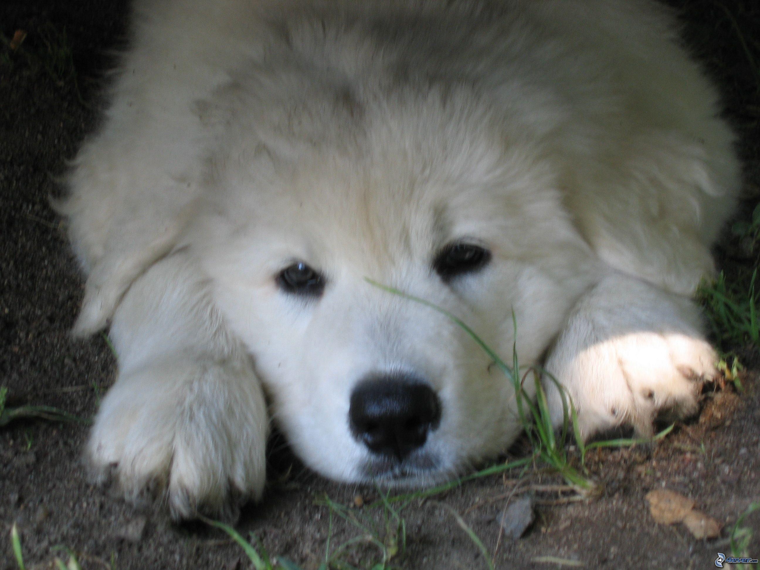 Slovak Cuvac Puppies: Slovak Slovensky Cuvac Puppies Breed