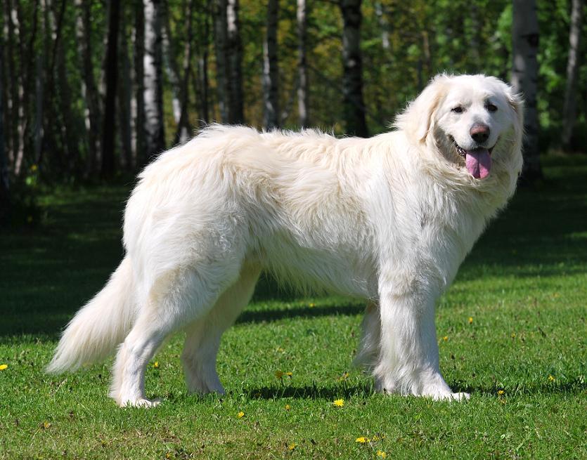 Slovak Cuvac Dog: Slovak Top Ten Rare Dog Breeds