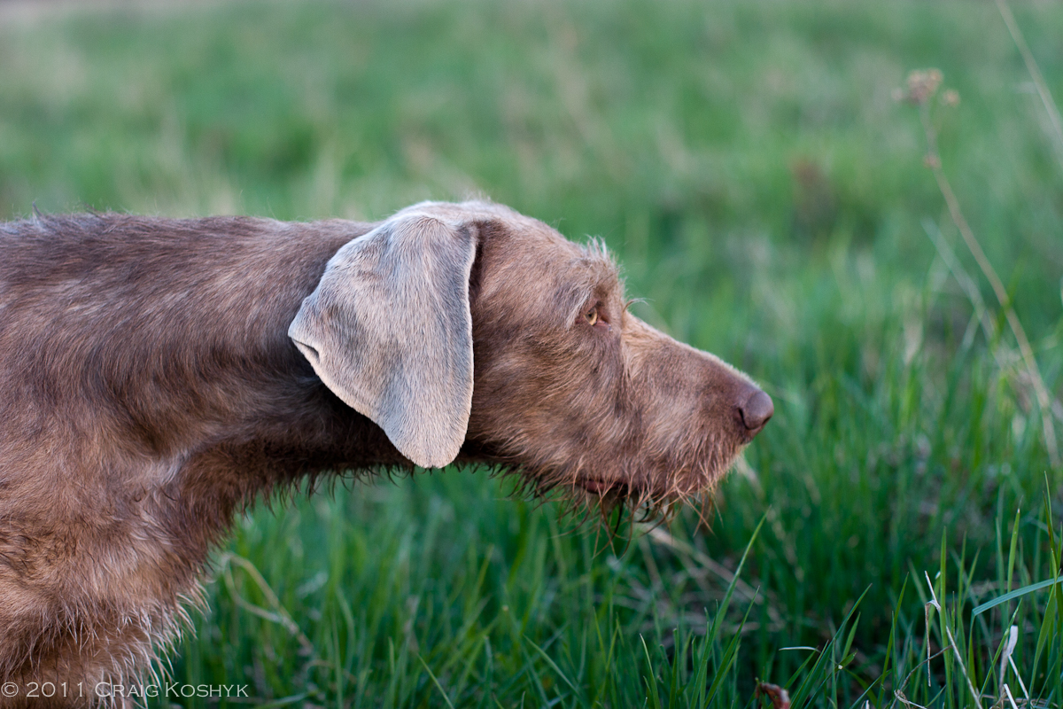 Slovakian Rough-haired Pointer Dog: Slovakian Breed Of The Week Slovakian Rough Haired Pointer