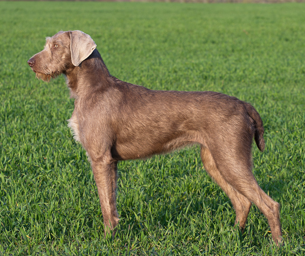 Slovakian Rough-haired Pointer Puppies: Slovakian Breed Of Week Slovakian Rough Haired