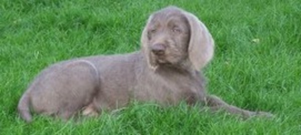 Slovakian Rough-haired Pointer Puppies: Slovakian Cd Breed